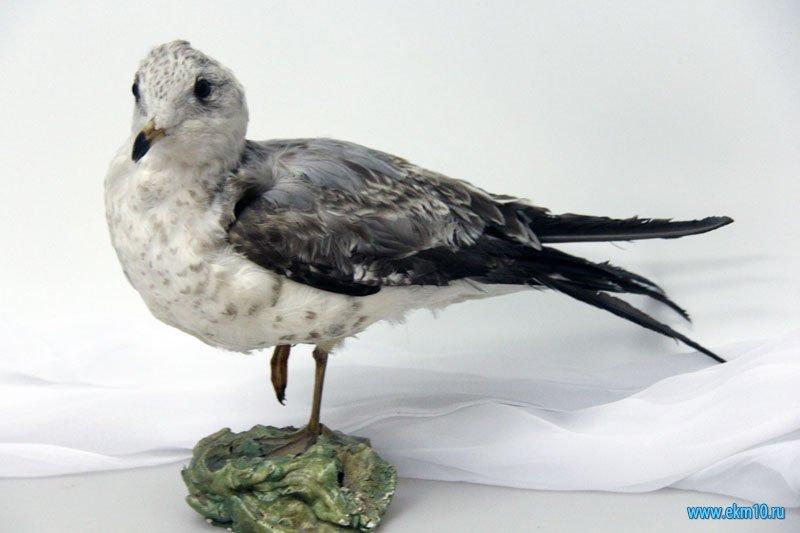 Чайка сизая